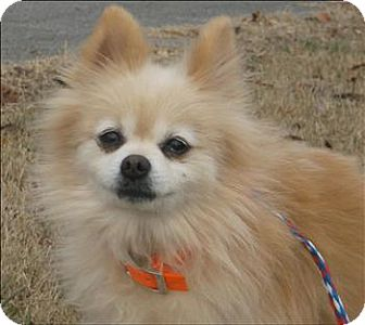 Pomeranian Dog for adoption in Marlton, New Jersey - Rufus