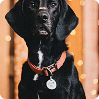 Adopt A Pet :: Herman Munster - Portland, OR