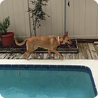 Adopt A Pet :: Jessie (fostered in FL) - Cranston, RI