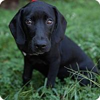 Adopt A Pet :: Penelope - Stamford, CT