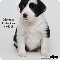 Adopt A Pet :: Maverick (Foster) - Baton Rouge, LA