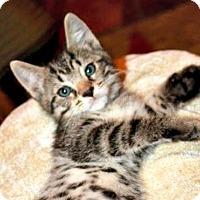 Domestic Shorthair Kitten for adoption in Burlington, North Carolina - HEIDI