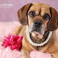 Pug/Beagle Mix Dog for adoption in Minneapolis, Minnesota - Holly- The Lukas Project