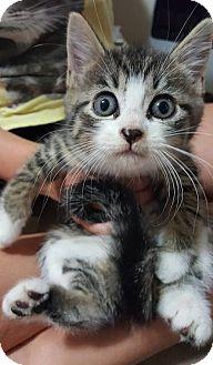 American Shorthair Kitten for adoption in Toms River, New Jersey - Egret