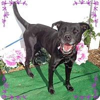 Labrador Retriever Mix Dog for adoption in Marietta, Georgia - STORMIE