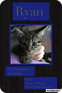 Domestic Shorthair Kitten for adoption in CLEVELAND, Ohio - Ryan
