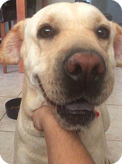 Labrador Retriever Dog for adoption in Phoenix, Arizona - Sasha