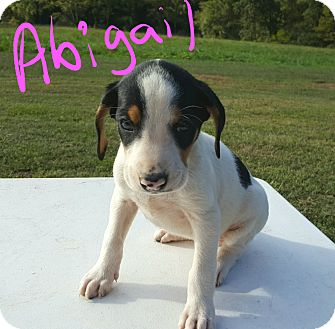 Beagle Mix Puppy for adoption in Albany, North Carolina - Abigail