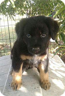 St. Bernard Mix Puppy for adoption in Burlington, Vermont - Lissette (adoption is pending)
