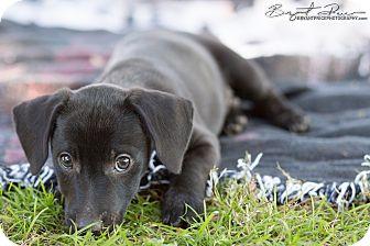 Dachshund Mix Puppy for adoption in Monroe, North Carolina - Tiny