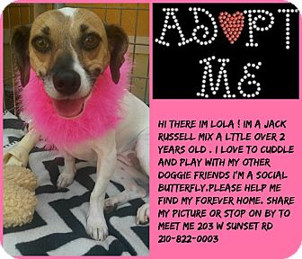 Rat Terrier/Terrier (Unknown Type, Medium) Mix Dog for adoption in san antonio, Texas - lola