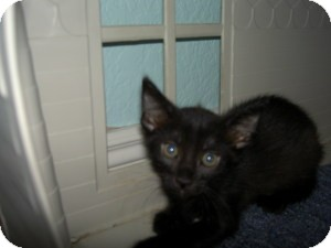 Domestic Shorthair Kitten for adoption in Gilbert, Arizona - Reggie