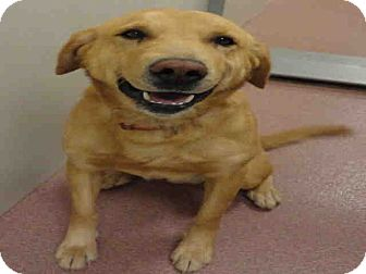 Golden Retriever Mix Dog for adoption in North Ogden, Utah - Smith