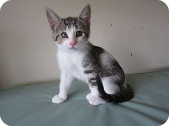 Domestic Shorthair Kitten for adoption in Chesterfield Township, Michigan - Daisy