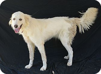 Great Pyrenees Mix Dog for adoption in Plano, Texas - Snowbelle