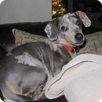 Dachshund Dog for adoption in Fairmont, West Virginia - Julian