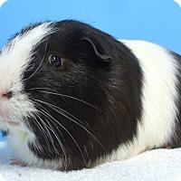 Adopt A Pet :: Oreo - Aurora, CO