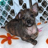 Adopt A Pet :: Gidget - Minneola, FL