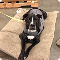 Adopt A Pet :: Spartacus - Bellingham, WA