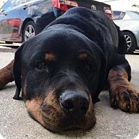 Adopt A Pet :: Bruin - Royal Palm Beach, FL