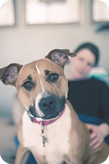 American Pit Bull Terrier/Pit Bull Terrier Mix Dog for adoption in Wauwatosa, Wisconsin - Lyla