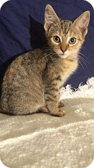Domestic Shorthair Cat for adoption in Ashland, Kentucky - Curly Sue