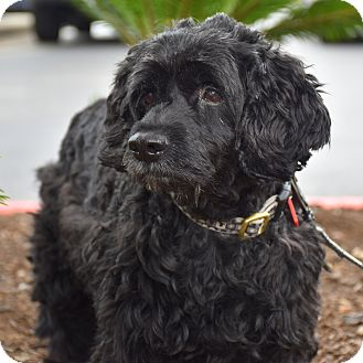 Cockapoo Mix Dog for adoption in Austin, Texas - Puffy