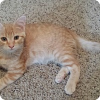 Domestic Shorthair Kitten for adoption in Cedar Springs, Michigan - Tiny Tim