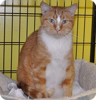 Domestic Shorthair Cat for adoption in Sunrise Beach, Missouri - Dee Dee- Diamond