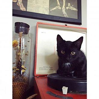 Domestic Shorthair Kitten for adoption in St. Paul, Minnesota - Amelie