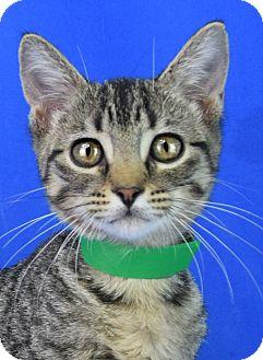 Domestic Shorthair Kitten for adoption in Carencro, Louisiana - Big Bear