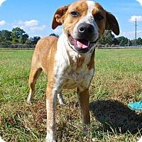 Adopt A Pet :: Cowboy - St. Francisville, LA