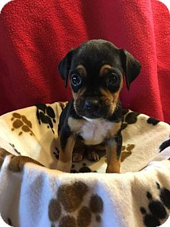 Boxer Mix Puppy for adoption in WESTMINSTER, Maryland - Jan