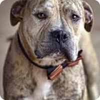 Adopt A Pet :: Olaf - East Randolph, VT