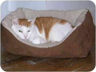 American Shorthair Cat for adoption in New York, New York - Sweet Pumpkin