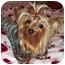 Photo 1 - Yorkie, Yorkshire Terrier Dog for adoption in The Villages, Florida - Cricket