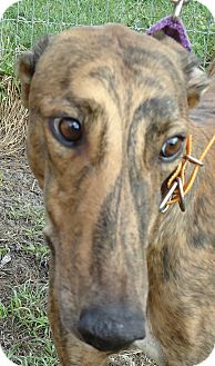 Greyhound Dog for adoption in Longwood, Florida - N Luke