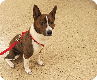 Australian Cattle Dog/Australian Cattle Dog Mix Puppy for adoption in Scottsdale, Arizona - Jewel