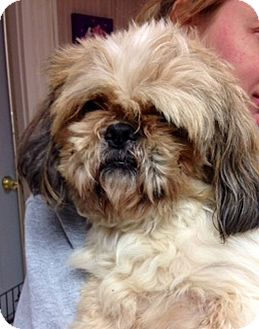 Lhasa Apso Mix Dog for adoption in Green Bay, Wisconsin - Biscuit