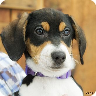 Bernese Mountain Dog/Labrador Retriever Mix Puppy for adoption in Brooklyn, New York - Baby Blizzard