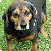 Adopt A Pet :: Roxie A Celebrate Home Girl! Lower Fee! - Yardley, PA
