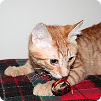 Adopt A Pet :: Orange Tabbies - Santa Rosa, CA