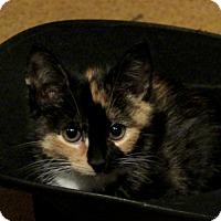 Adopt A Pet :: Wookie - Southington, CT