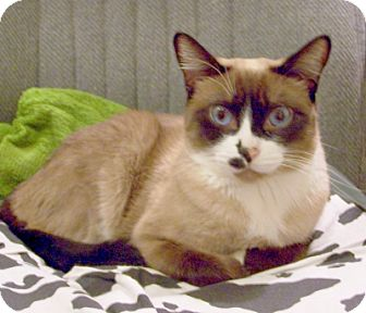 Siamese Cat for adoption in Chandler, Arizona - Cherokee
