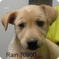 Adopt A Pet :: Rain - baltimore, MD