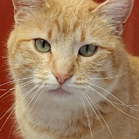 Adopt A Pet :: Tawny - Savannah, MO