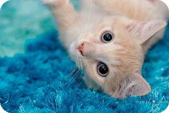 Domestic Mediumhair Kitten for adoption in Houston, Texas - Jellybean