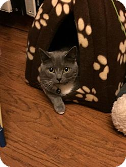 Domestic Shorthair Cat for adoption in Chesapeake, Virginia - Aphrodite