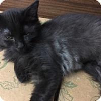 Domestic Mediumhair Kitten for adoption in Medina, Ohio - Minnow