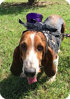 Basset Hound Dog for adoption in Houston, Texas - Brie